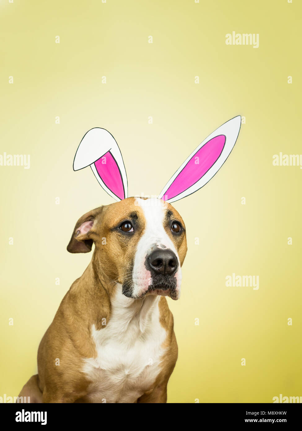 Funny dog with easter bunny ears. Staffordshire terrier puppy poses for studio shot dressed in homemade hare paper - Stock Image