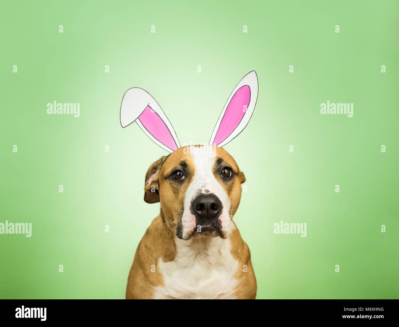 Portrait of funny pitbull dog with easter bunny ears. Staffordshire terrier puppy poses for studio shot dressed - Stock Image