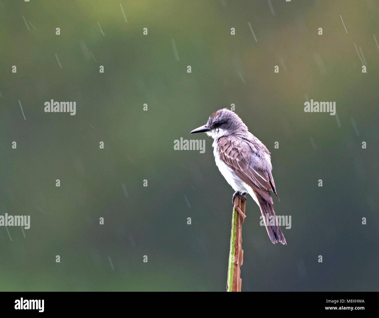 Grijze koningstiran zittend in de regen, Gray Kingbird perched in the rain - Stock Image