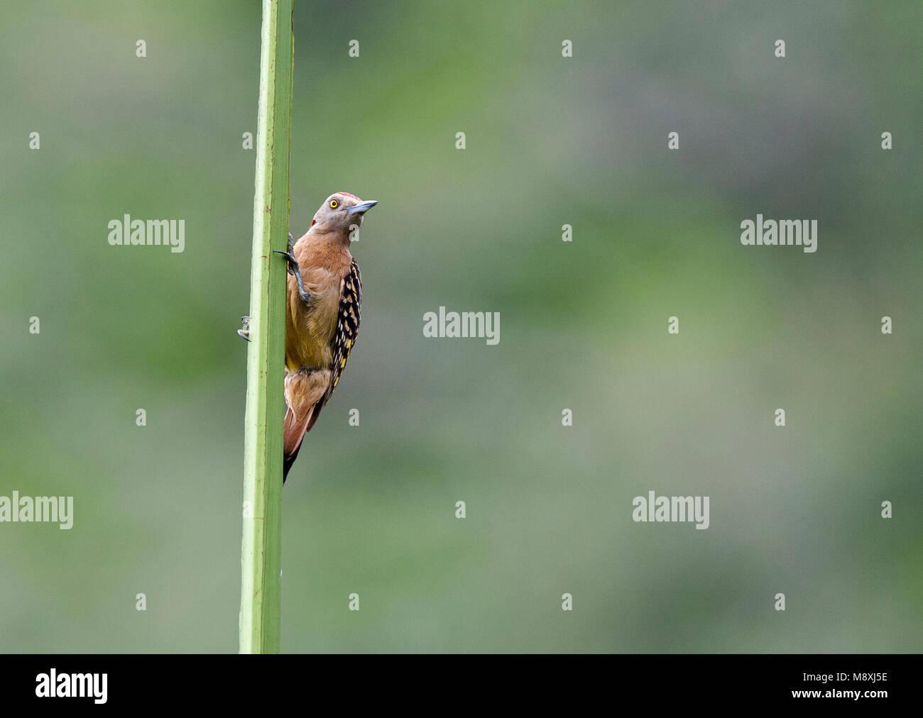 Hispaniolaspecht, Hispaniolan Woodpecker - Stock Image