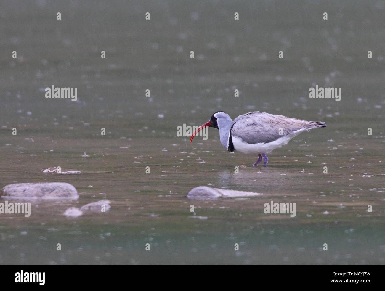 Ibisbill perched in river in rain; Ibissnavel staand in rivier in regen Stock Photo