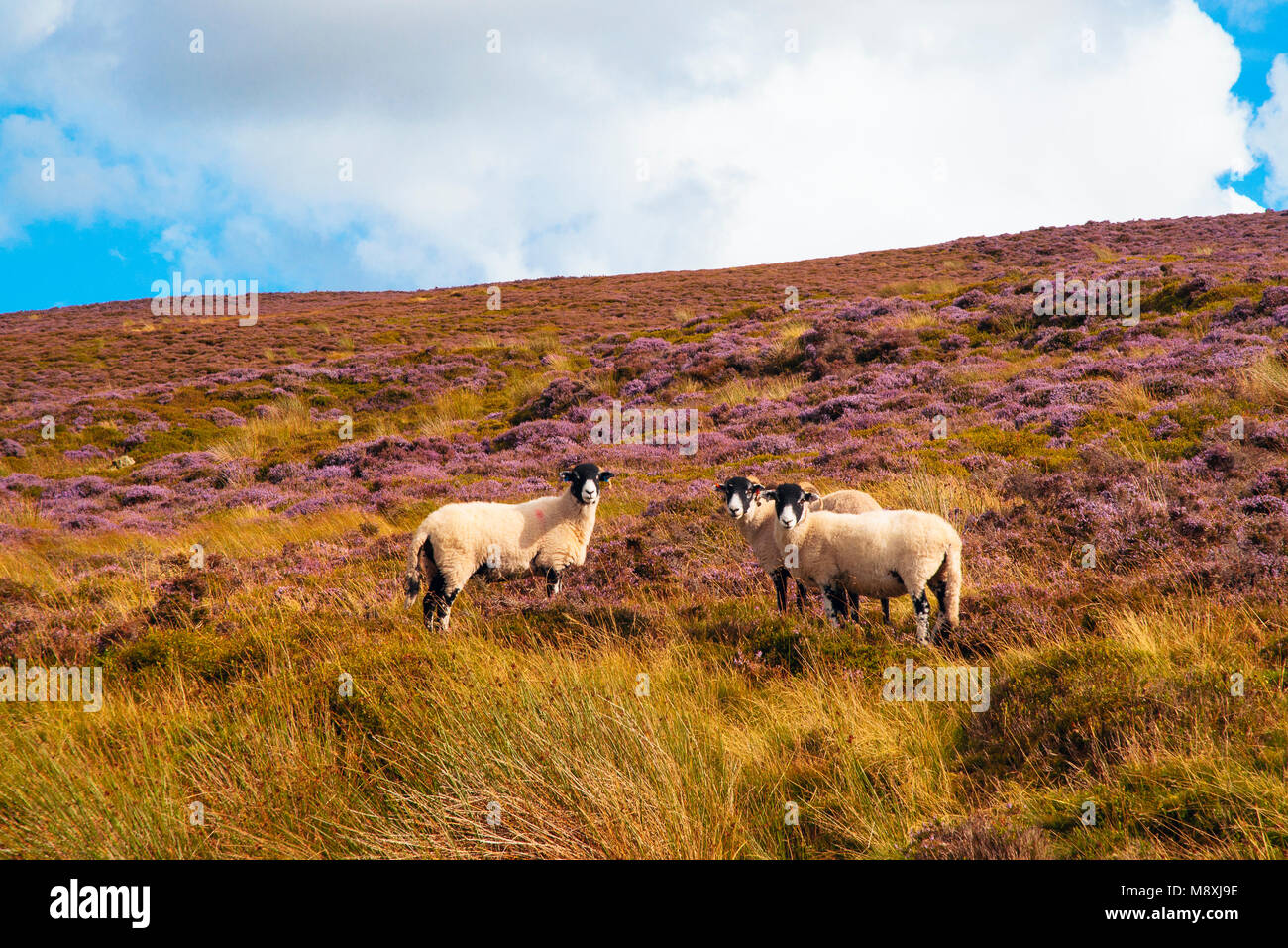 Sheep on heather moorland on Hawthornthwaite Fell in Wyresdale Lancashire England - Stock Image