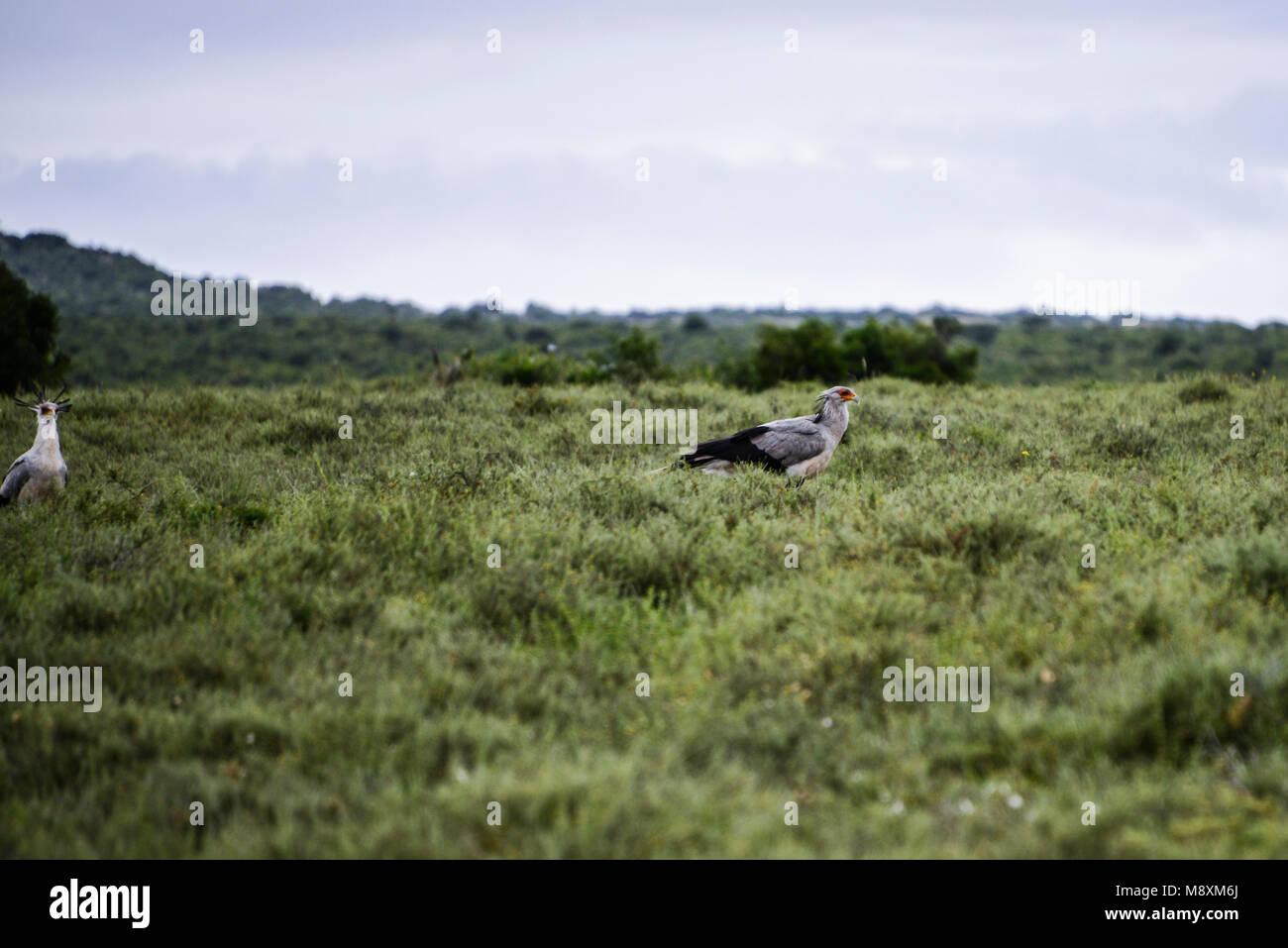 Two secretary birds (Sagittarius serpentarius) on open grassland in Addo Elephant Park, South Africa Stock Photo