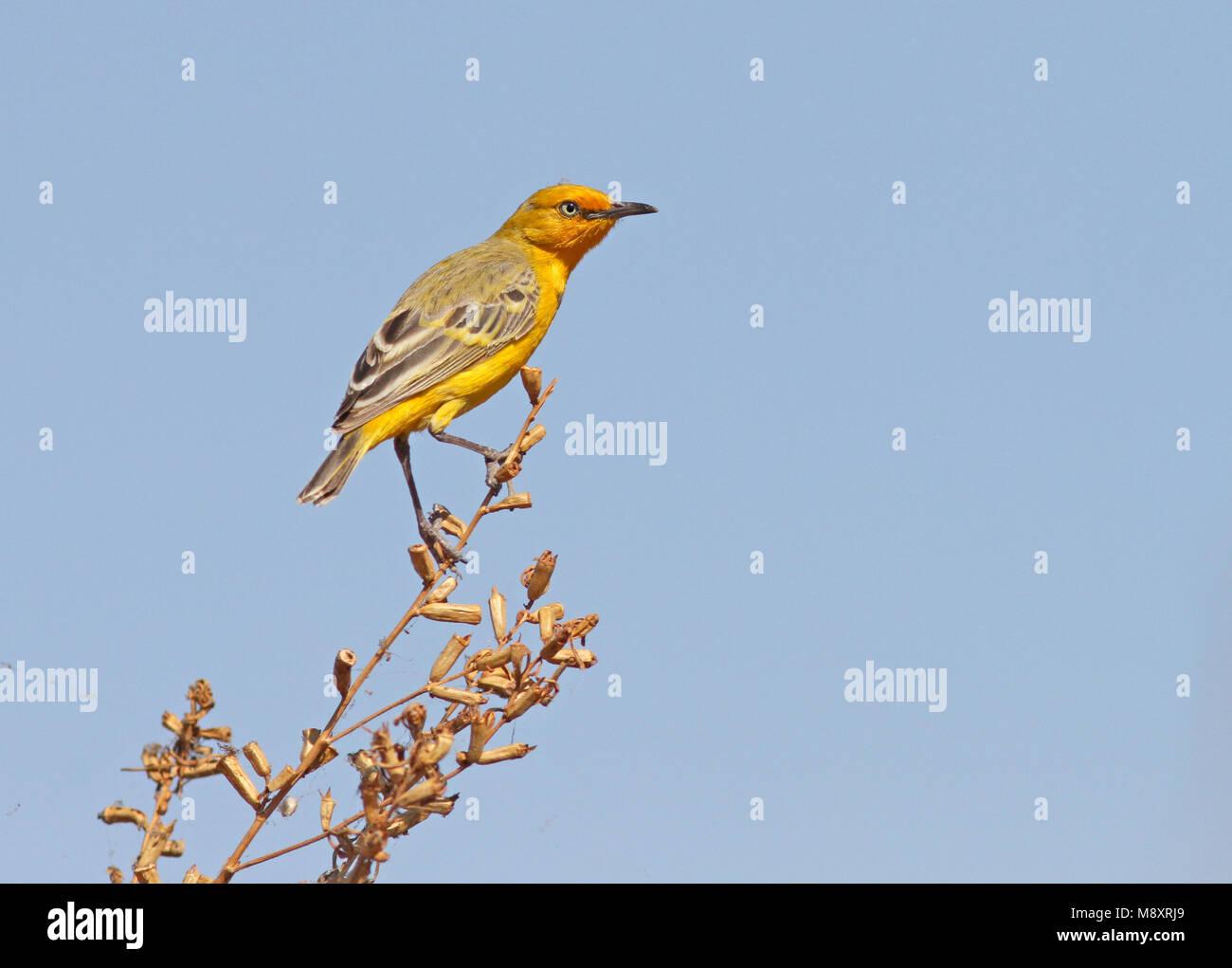 Geel Schijnpaapje, Yellow Chat - Stock Image