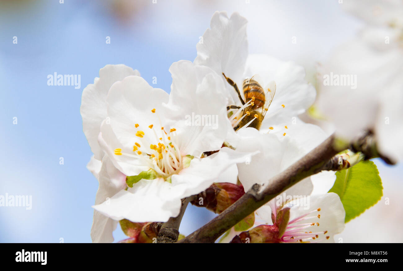 Close-up of bee on almond tree pink-white blossoms. Almond trees in the Island of Cyprus blossom in February. - Stock Image