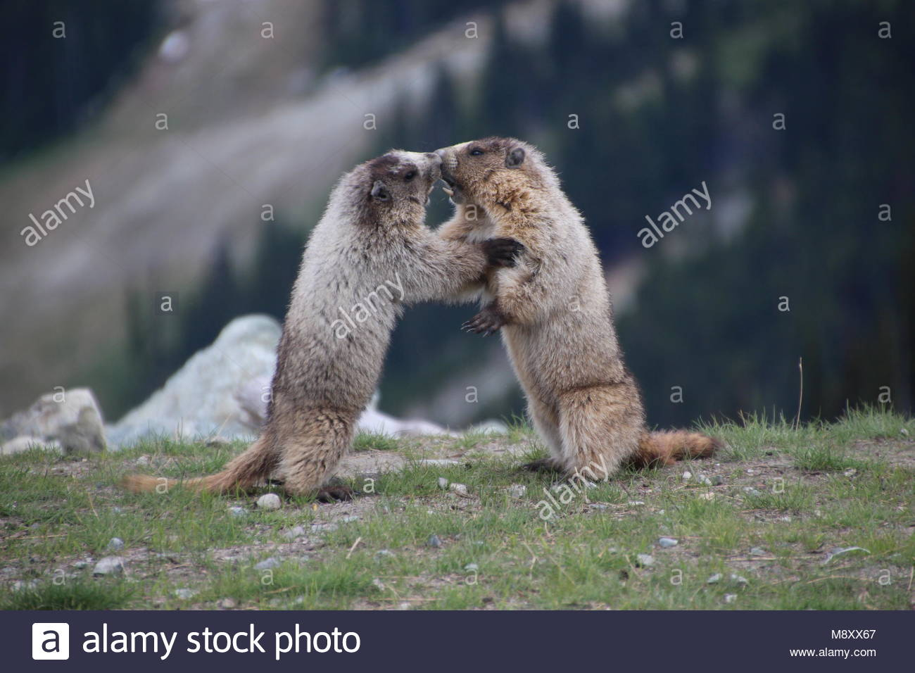 Close up of two Marmots fighting. - Stock Image