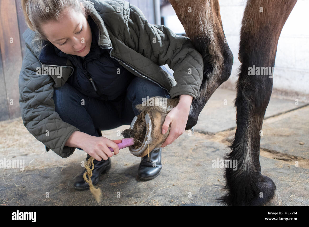 Female Owner In Stable Cleaning Feet Of Horse With Brush - Stock Image