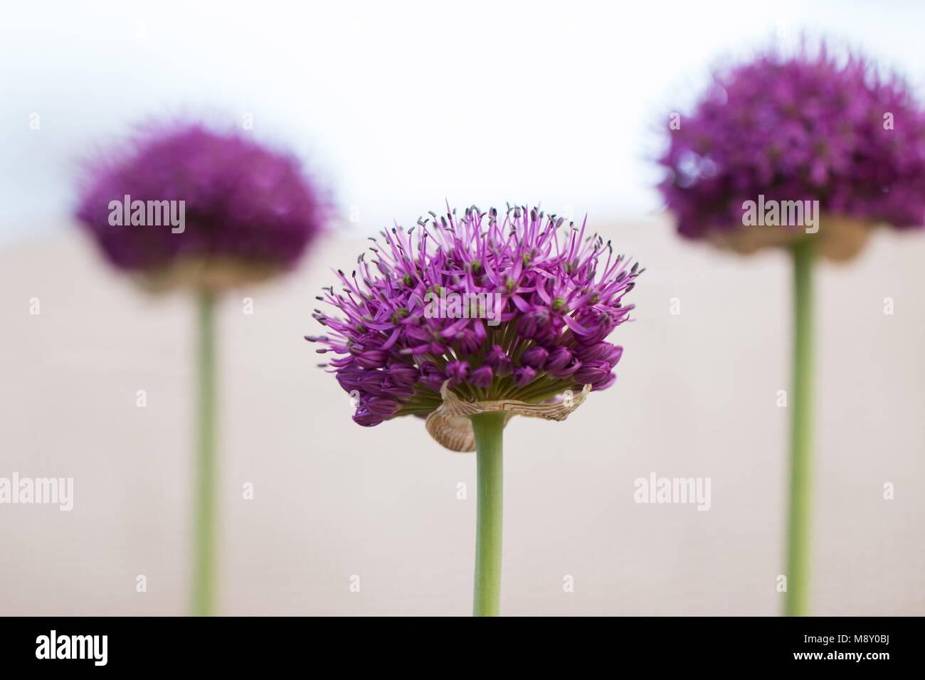 A trio of purple allium flowers (allium hollandicum) on a white background. - Stock Image