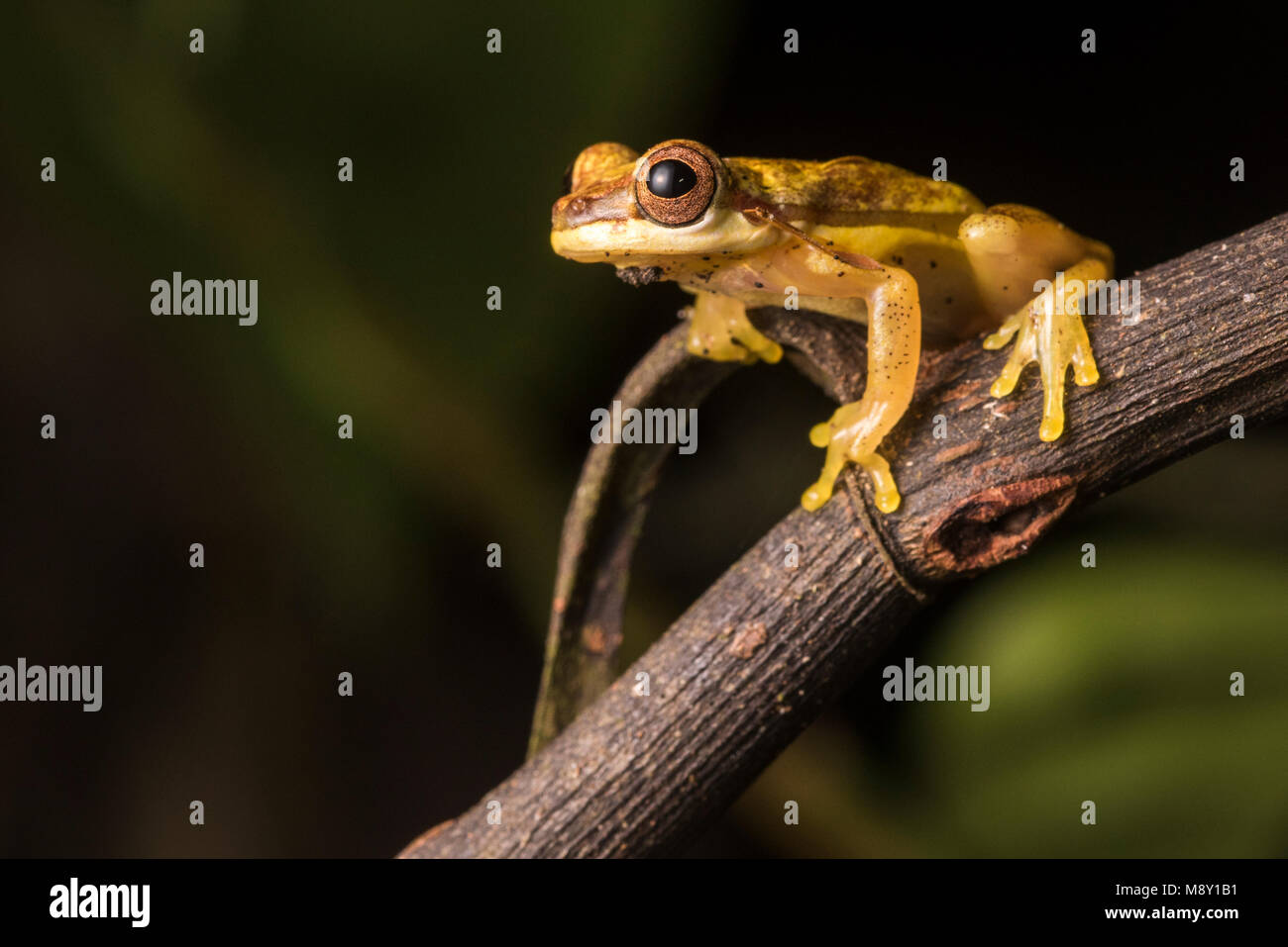 A bright yellow clown tree frog (Dendropsophus species) from the jungle of Peru. - Stock Image