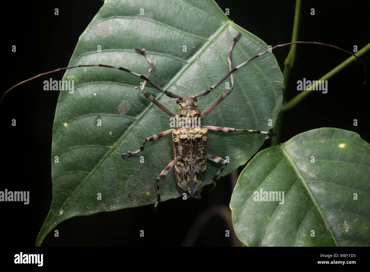 A long horn beetle from Peru. - Stock Image