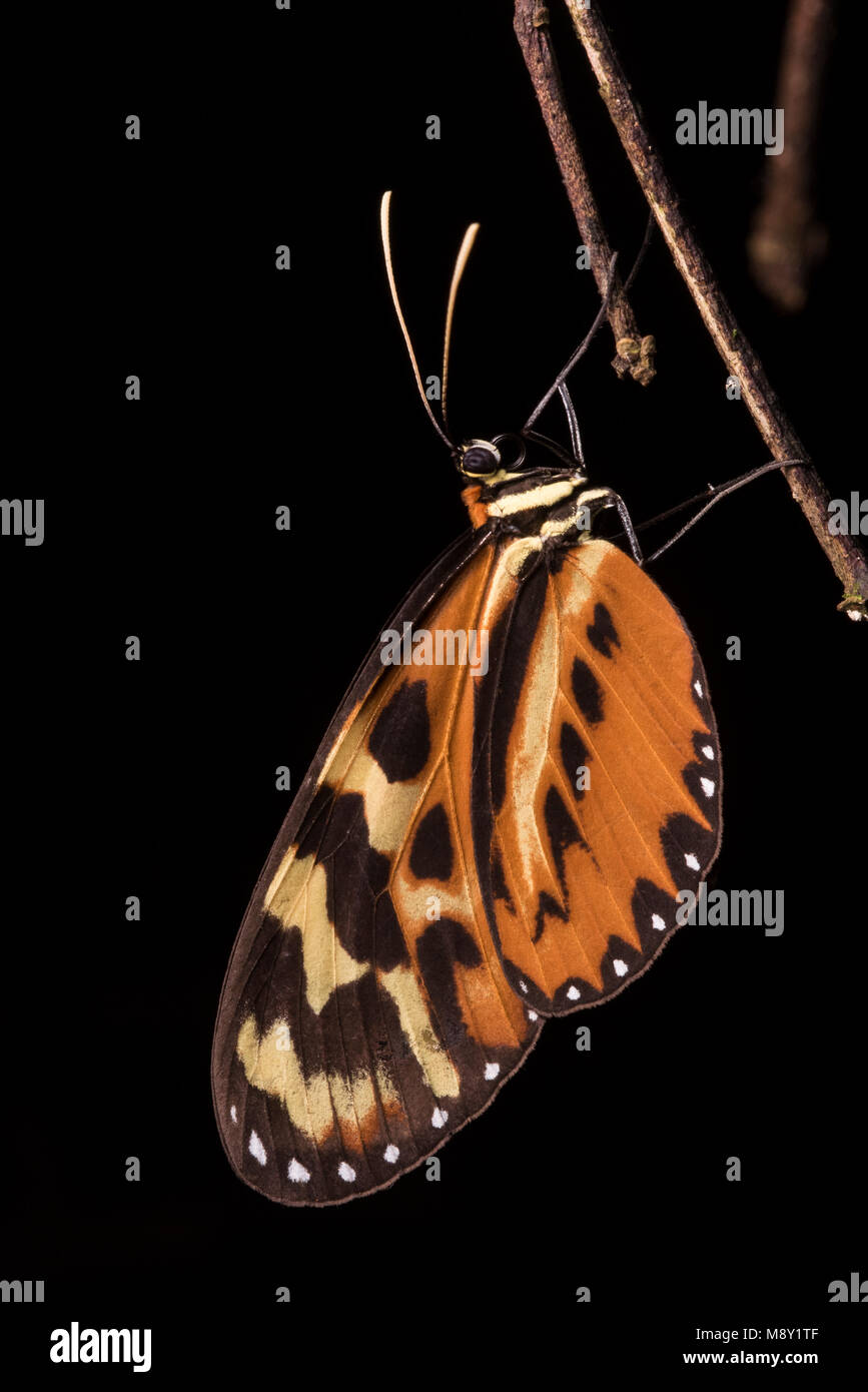 A species of Heliconius butterfly, more commonly known as longwings.  These butterflies have been studied extensively - Stock Image