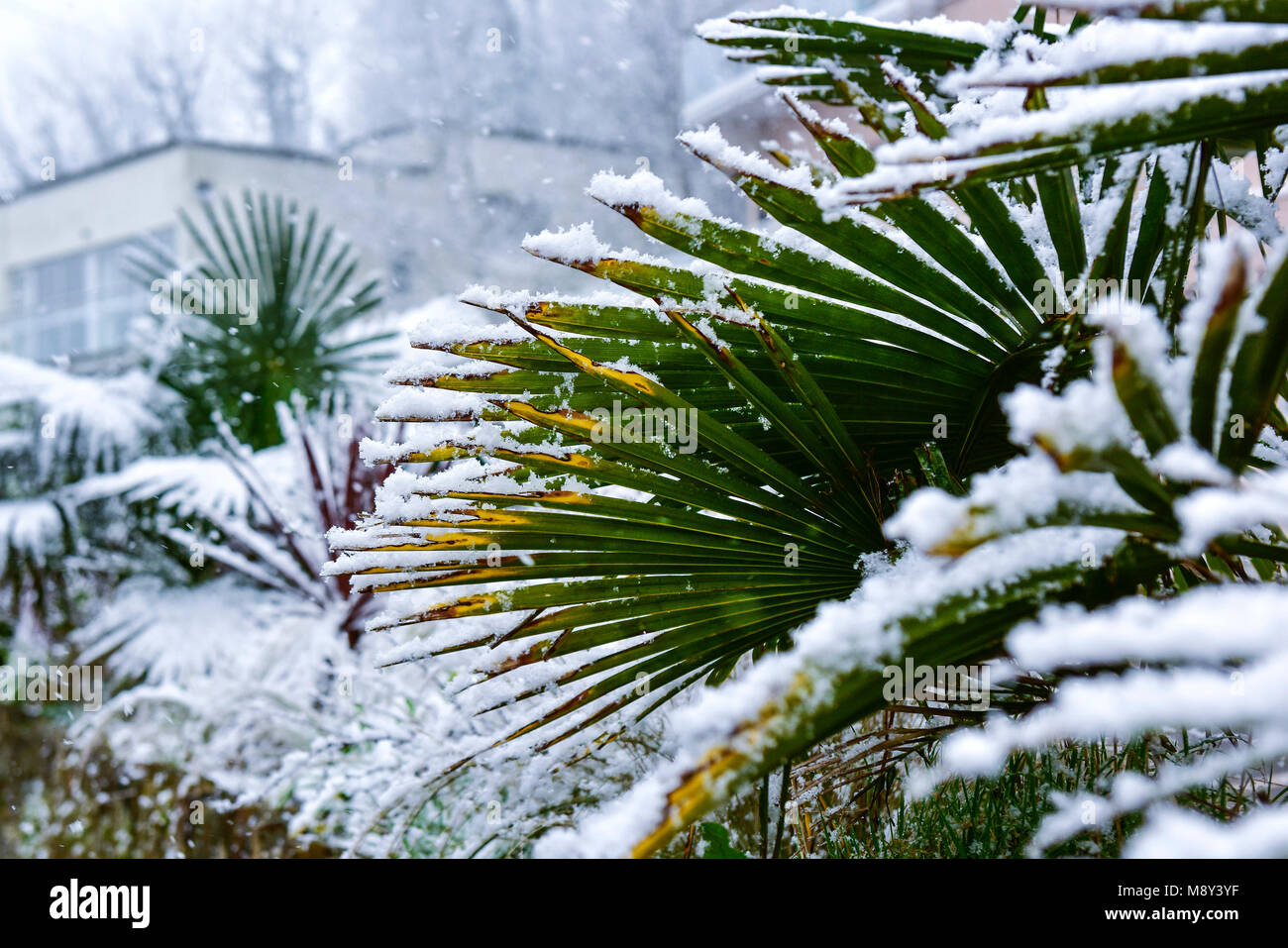 Unusal weather conditions in Cornwall with snow falling on Trachycarpus fortunei Chusan Palm in Newquay Cornwall. - Stock Image