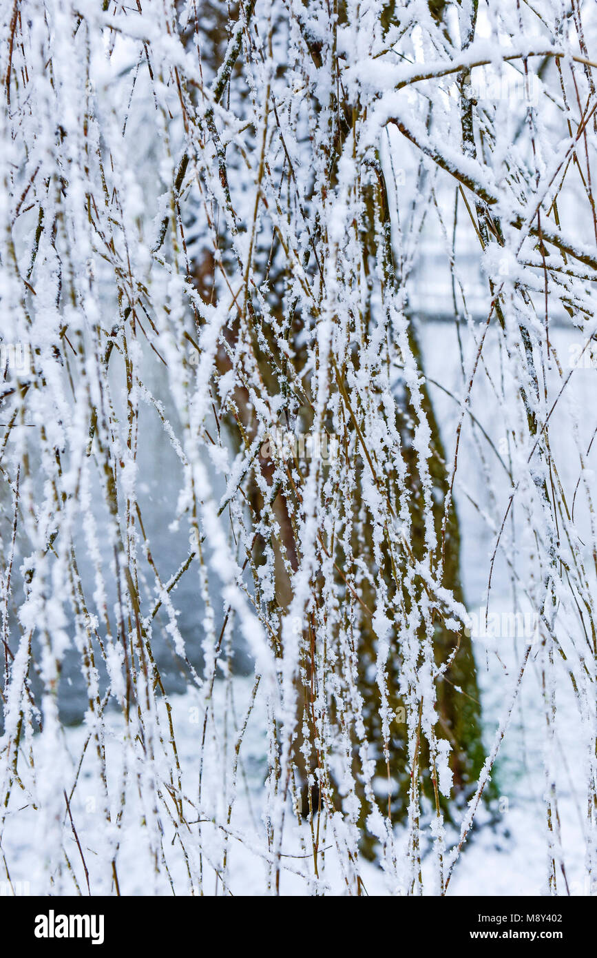 Snow clinging to twigs and branches of a tree in a park in Newquay Cornwall. - Stock Image