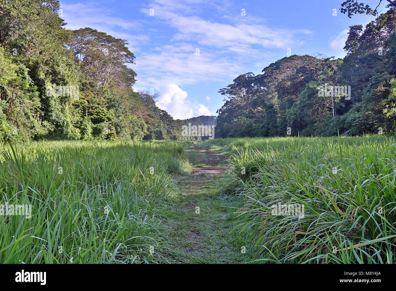 Overgrown airstrip in the heart of the jungles of the remote Corcovado National Park, on the Osa Peninsula in Costa - Stock Image