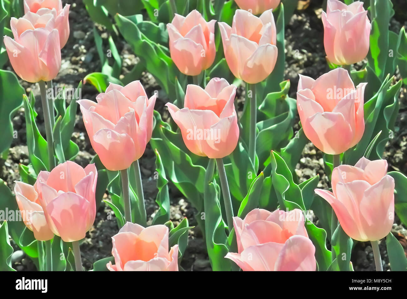 Tulip Apricot Beauty (Tulipa, Liliaceae), flowers in spring - Stock Image