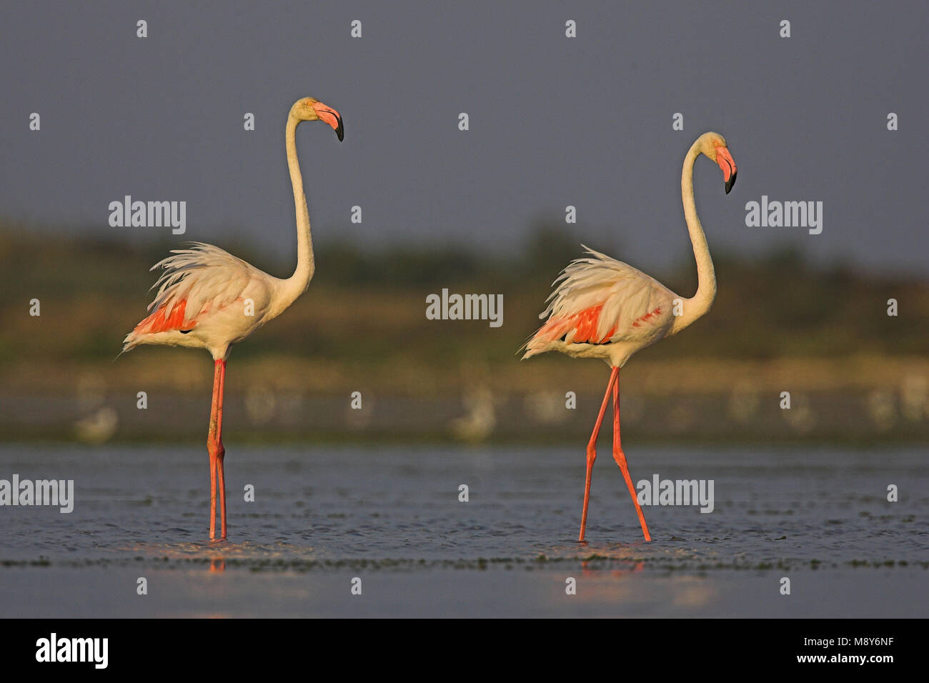 Flamingo in ondiep water; Greater Flamingo in shallow water - Stock Image