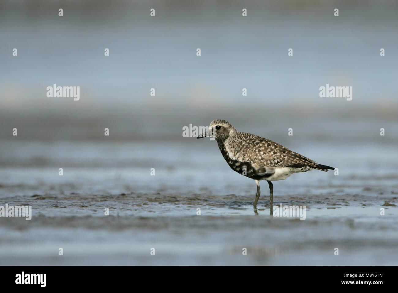 Zilverplevier in zomerkleed op wad; Grey Plover in summerplumage - Stock Image