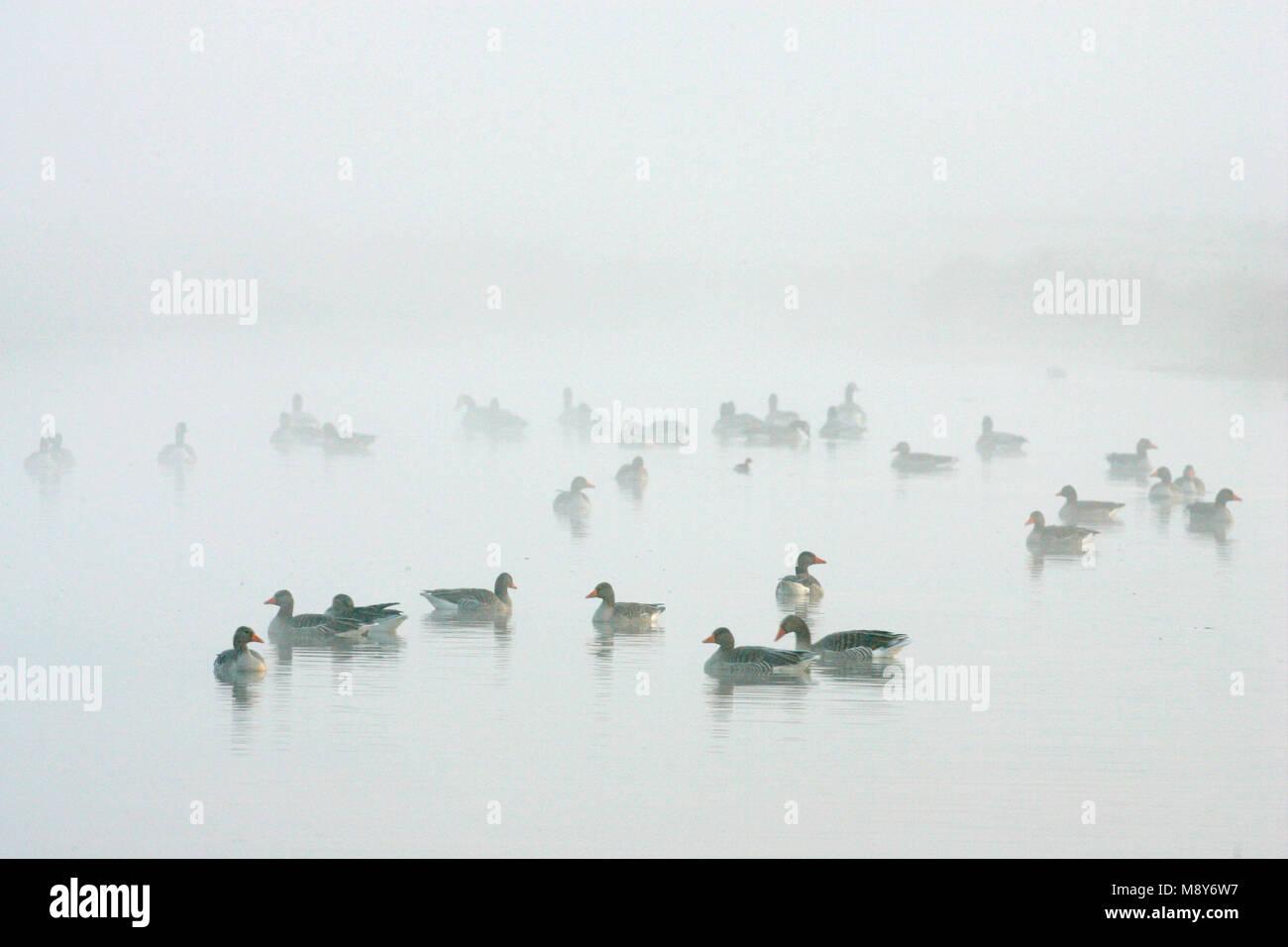 Grauwe Gans groep in water met mist; Grey-lag Goose group perched in water with fog Stock Photo