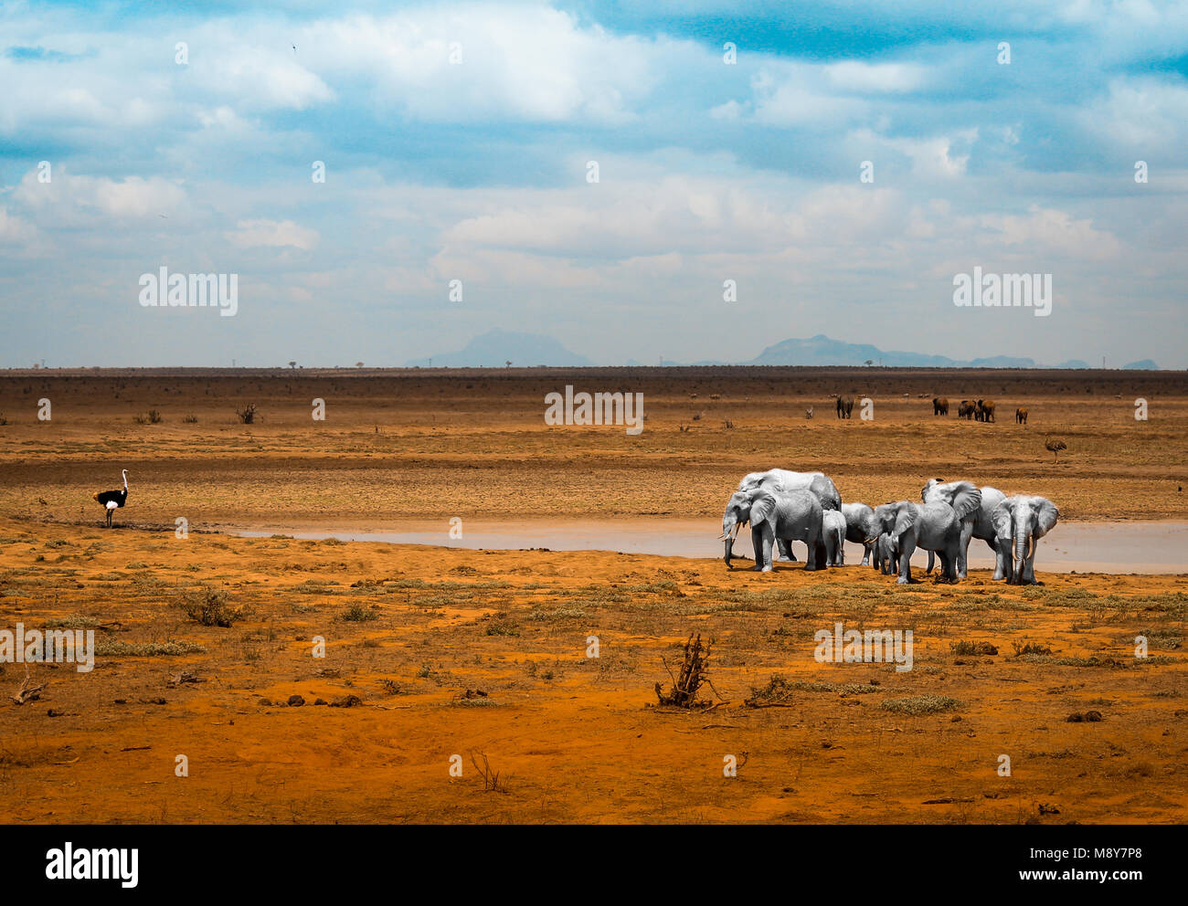 White elephants near a pool of water together with an ostrich, in Tsavo National Park in Kenya, Africa - Stock Image