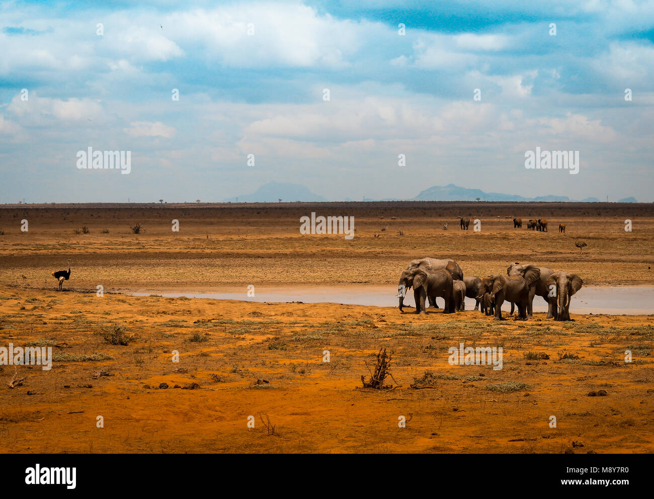 Elephants near a water basin in Tsavo park in Kenya, an ostrich looks this animals in Arica Stock Photo
