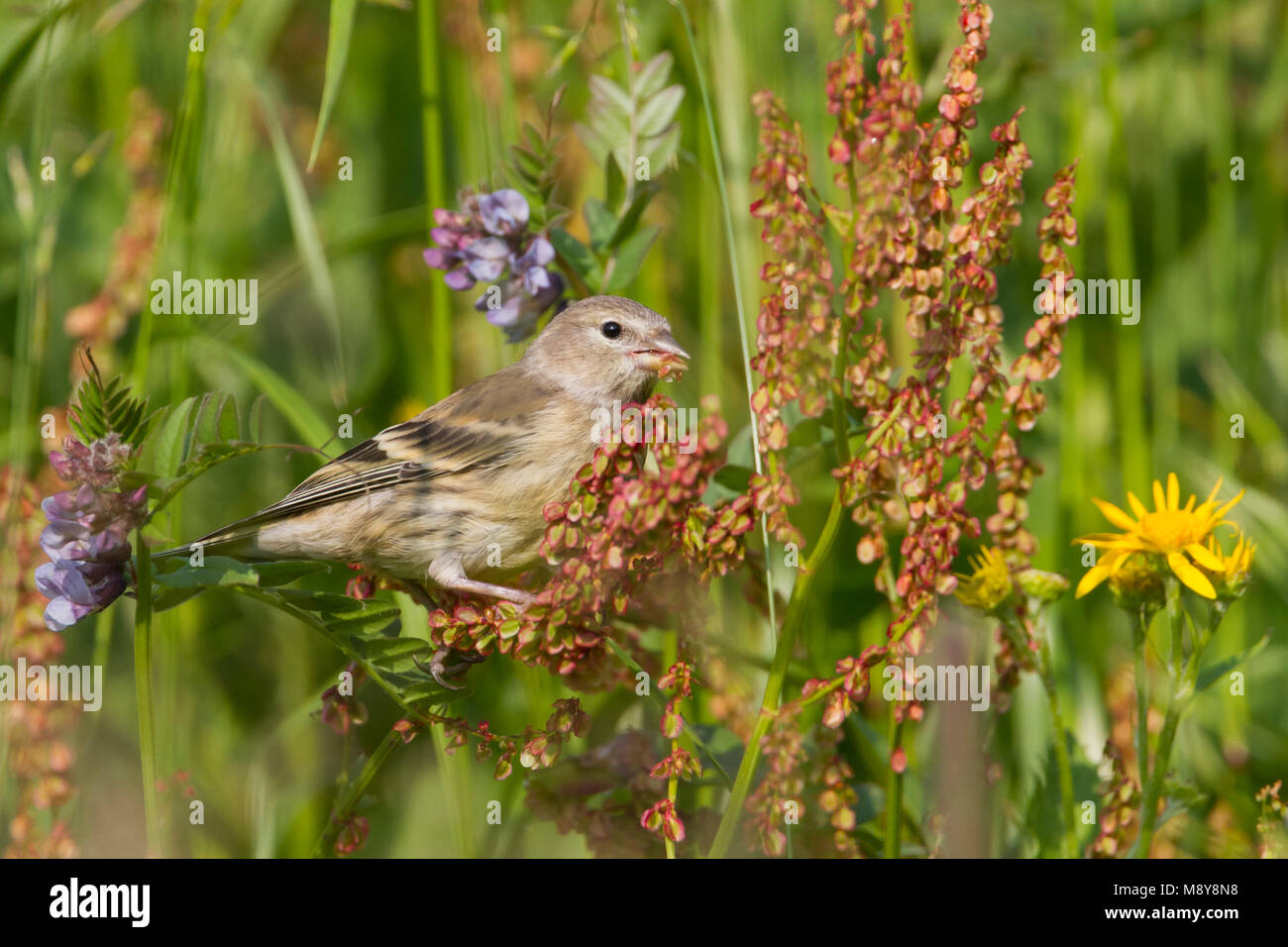 Citril Finch - Zitronengirlitz - Carduelis citrinella, Austria, juvenile - Stock Image