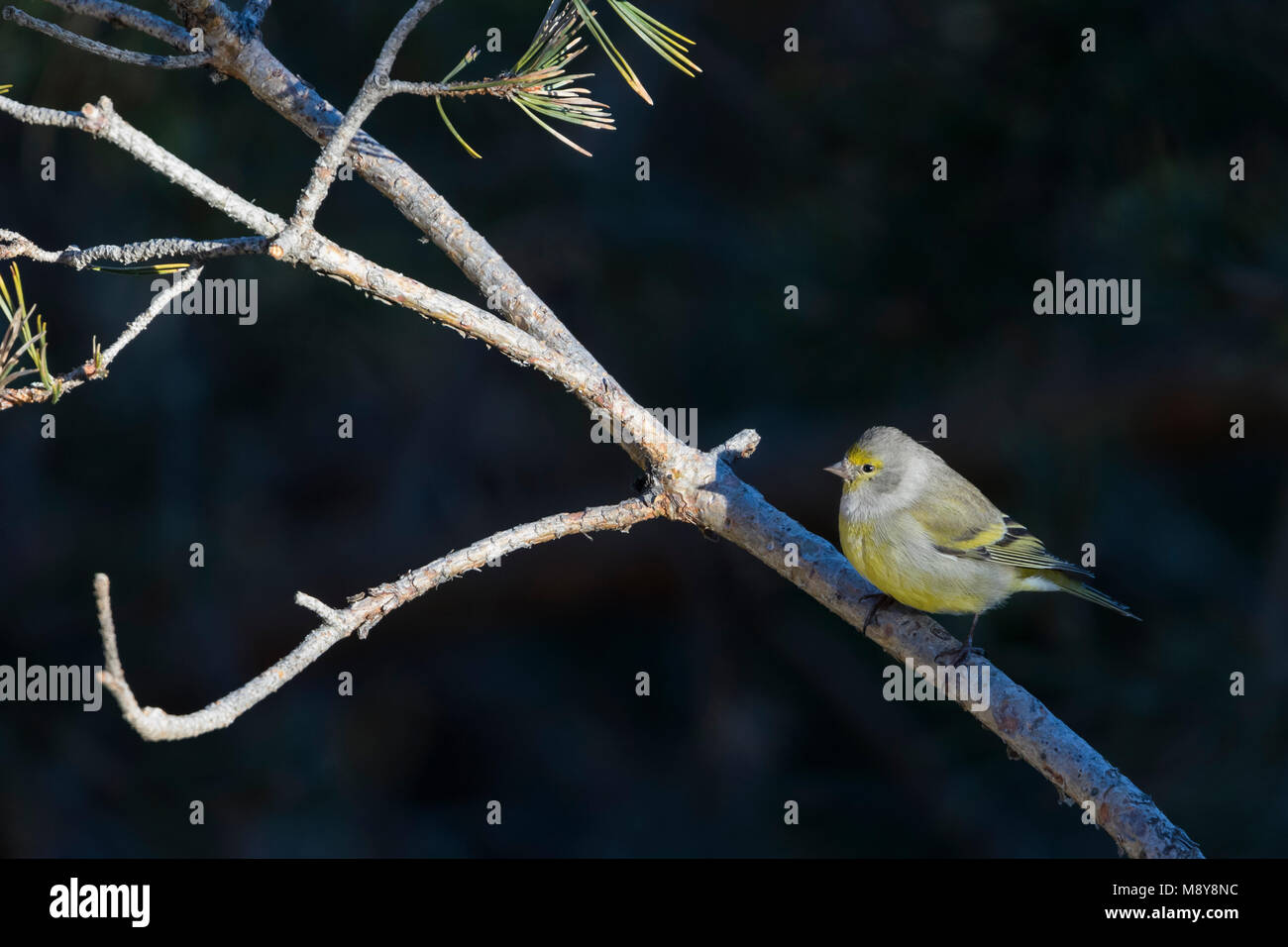 Citril Finch - Zitronengirlitz - Carduelis citrinella, Spain - Stock Image