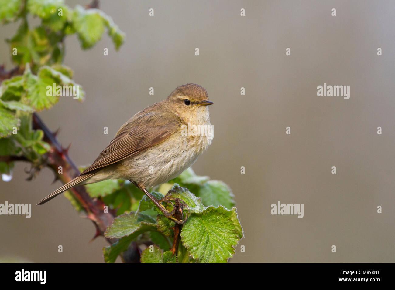 Common Chiffchaff - Zilpzalp - Phylloscopus collybita ssp. collybita, Germany Stock Photo