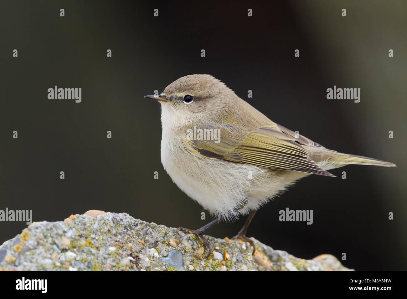 Common Chiffchaff - Zilpzalp - Phylloscopus collybita ssp. collybita, Germany, birc calling like collybita Stock Photo