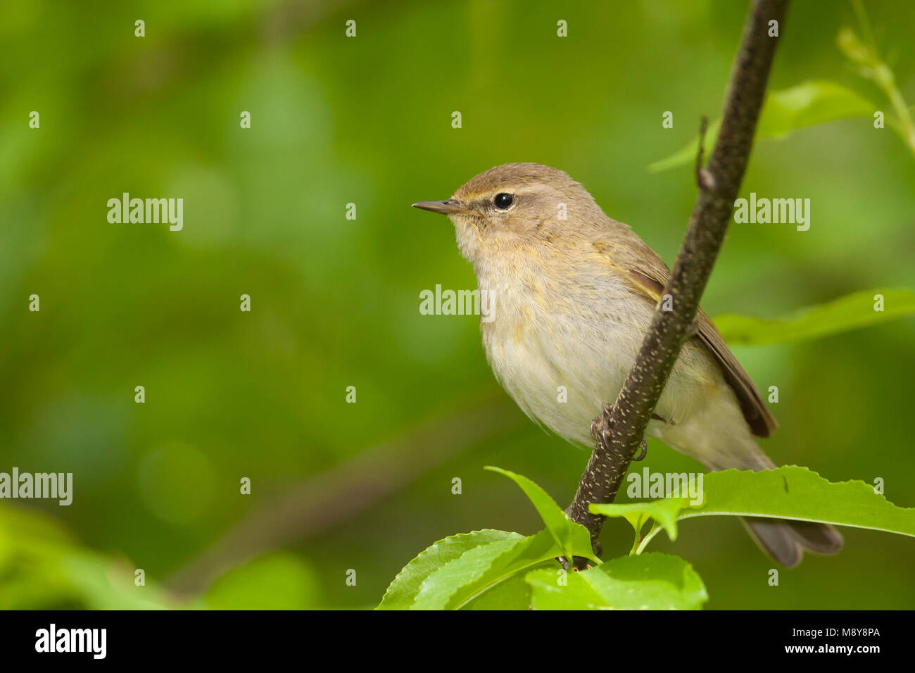 Common Chiffchaff - Zilpzalp - Phylloscopus collybita ssp. collybita, Germany Stock Photo