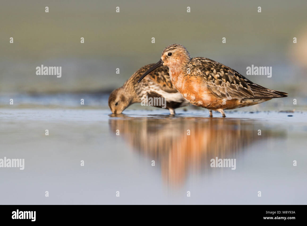Curlew Sandpiper - Sichelstrandläufer - Calidris ferruginea, Germany, adult breeding plumage with Dunlin - Stock Image
