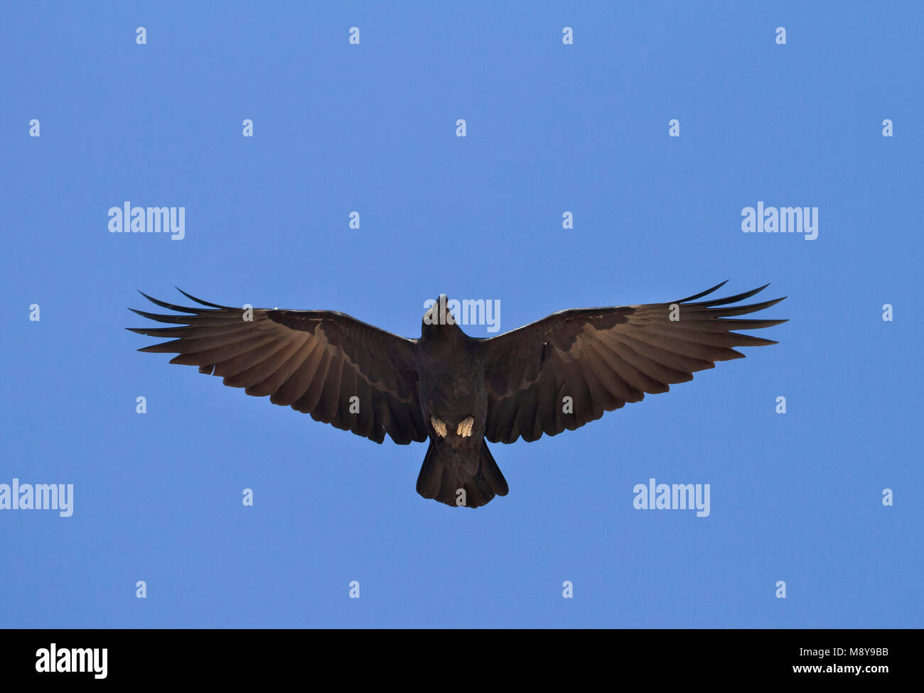 Fan-tailed Raven - Borstenrabe - Corvus rhipidurus, Oman Stock Photo