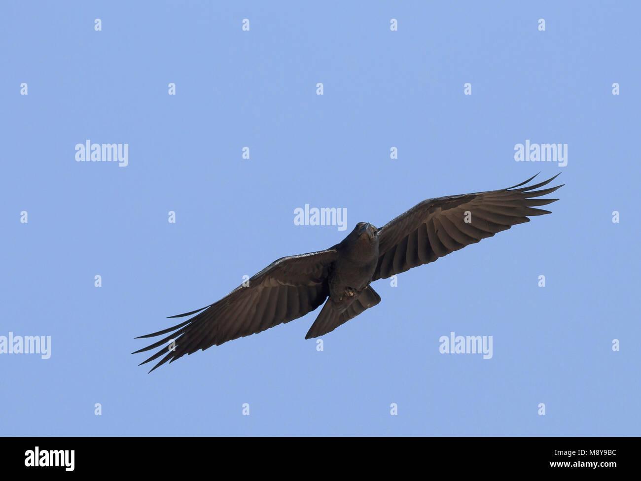 Fan-tailed Raven - Borstenrabe - Corvus rhipidurus, Oman Stock Photo