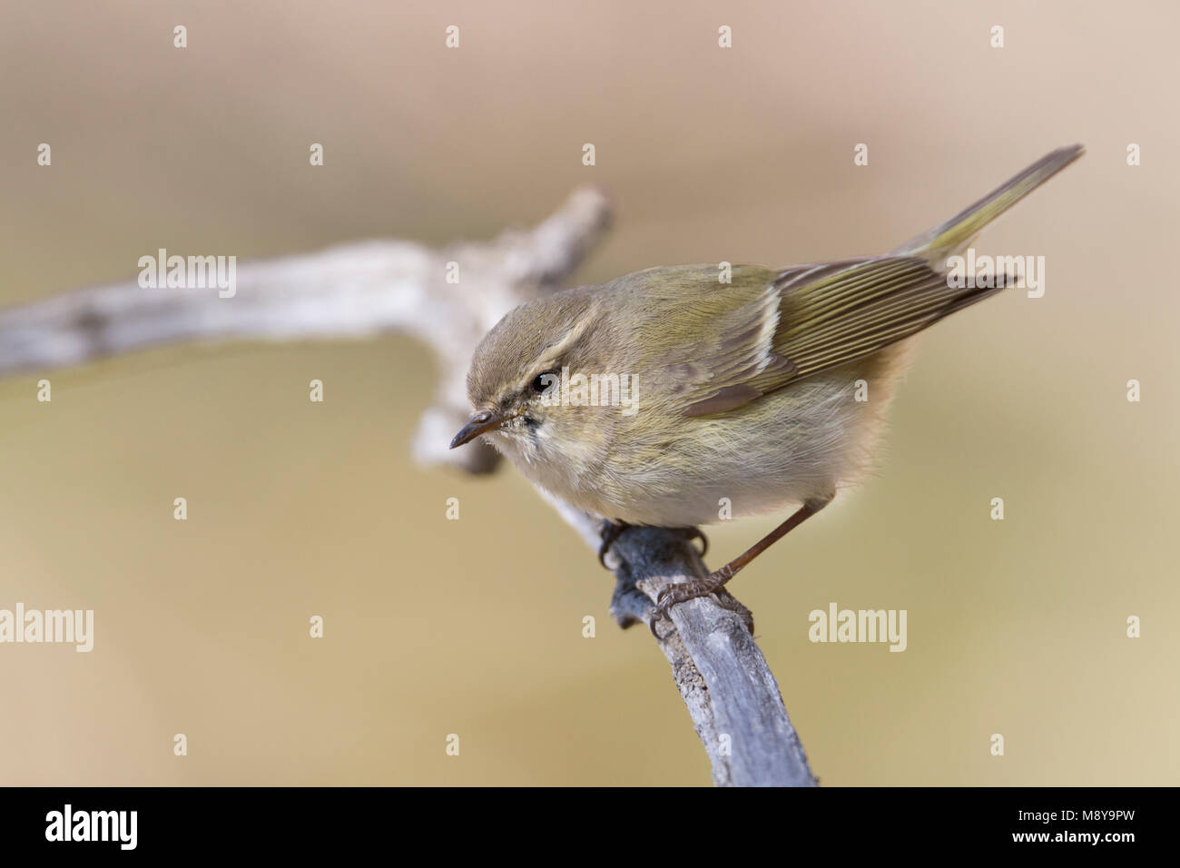 Humes Bladkoning; Hume's Leaf Warbler Stock Photo