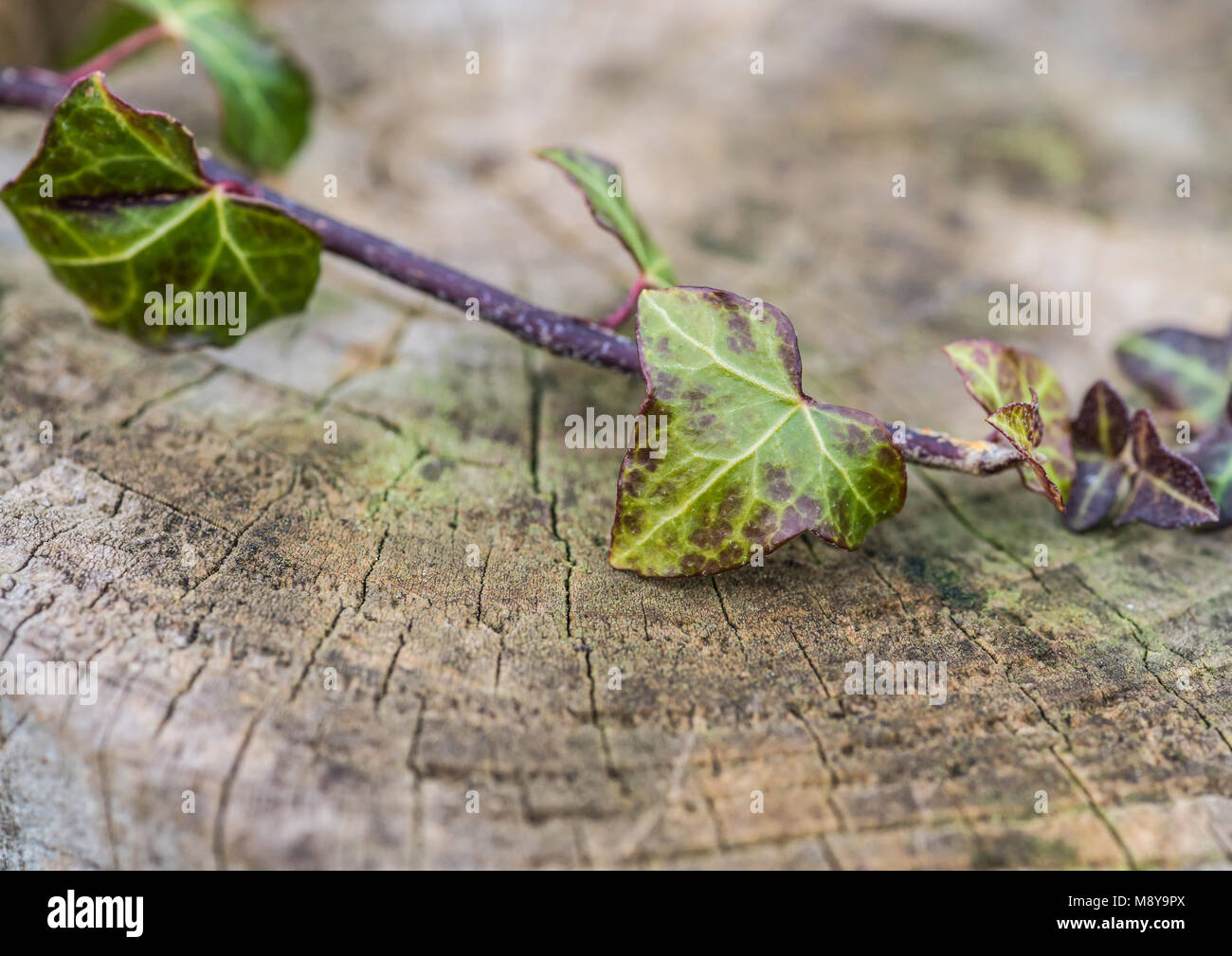 A macro shot of some small ivy leaves on top of a fence post. - Stock Image