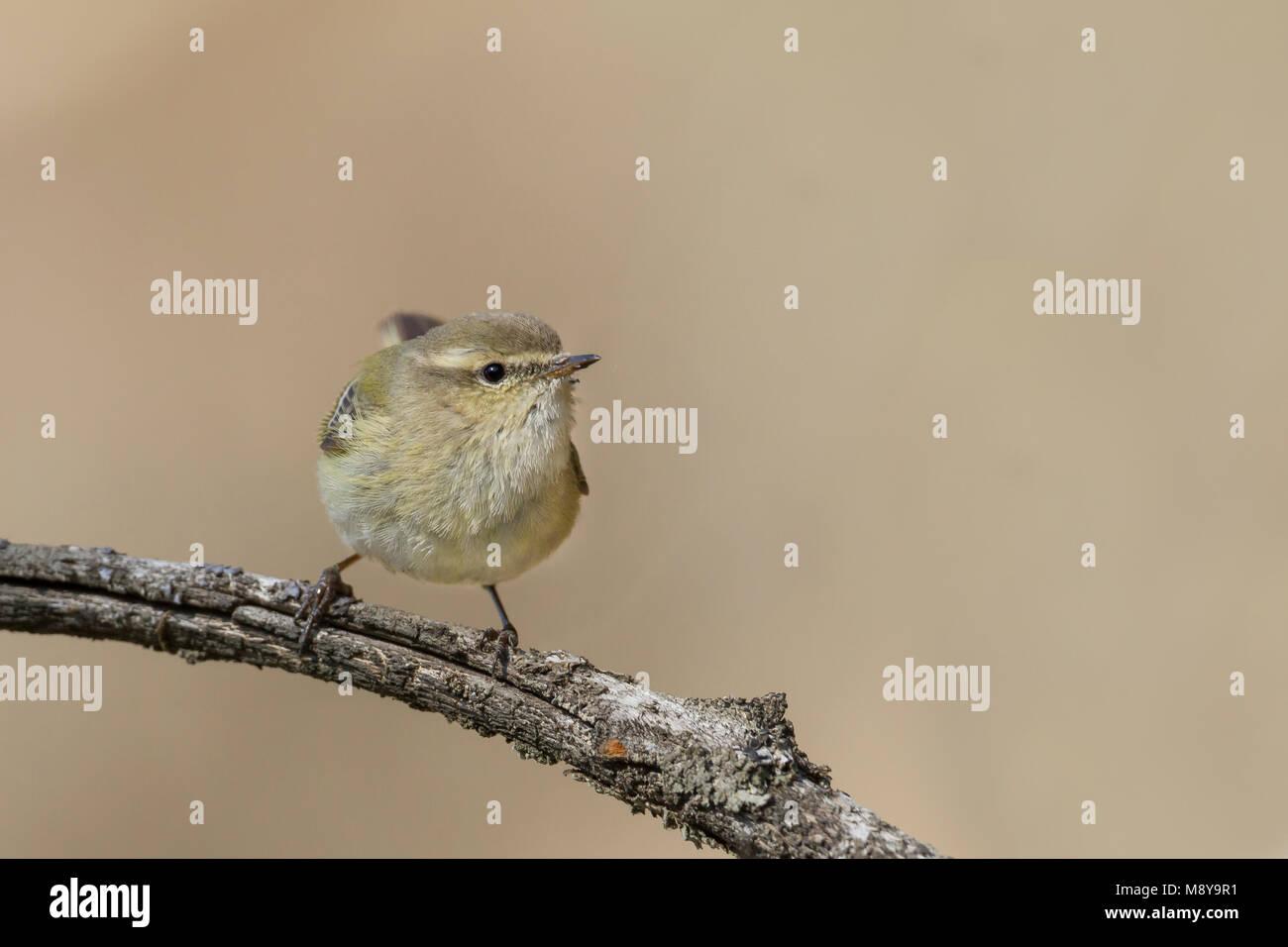 Humes Bladkoning; Hume's Leaf Warbler Stock Photo