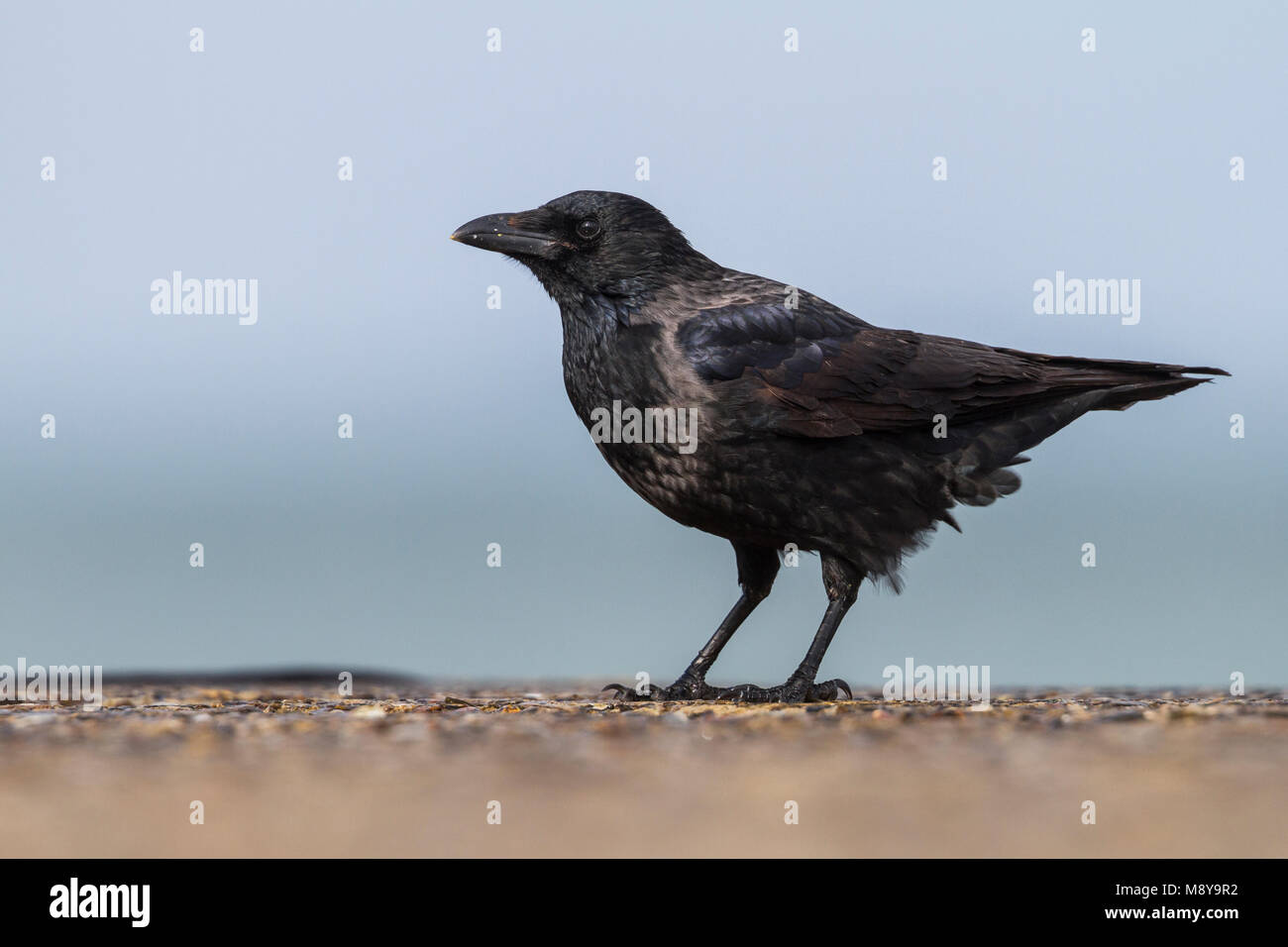 Hybride Bonte Kraai x Zwarte Kraai, Hybrid Hooded Crow x Carrion Crow, Corvus cornix x corone Stock Photo