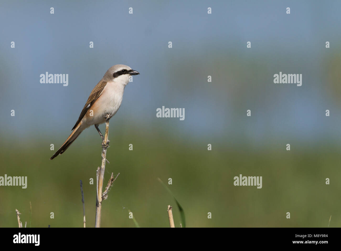 Hybrid Red-backed Shrike x Turkestan Shrike, Lanius collurio collurio x Lanius phoenicuroides - Stock Image
