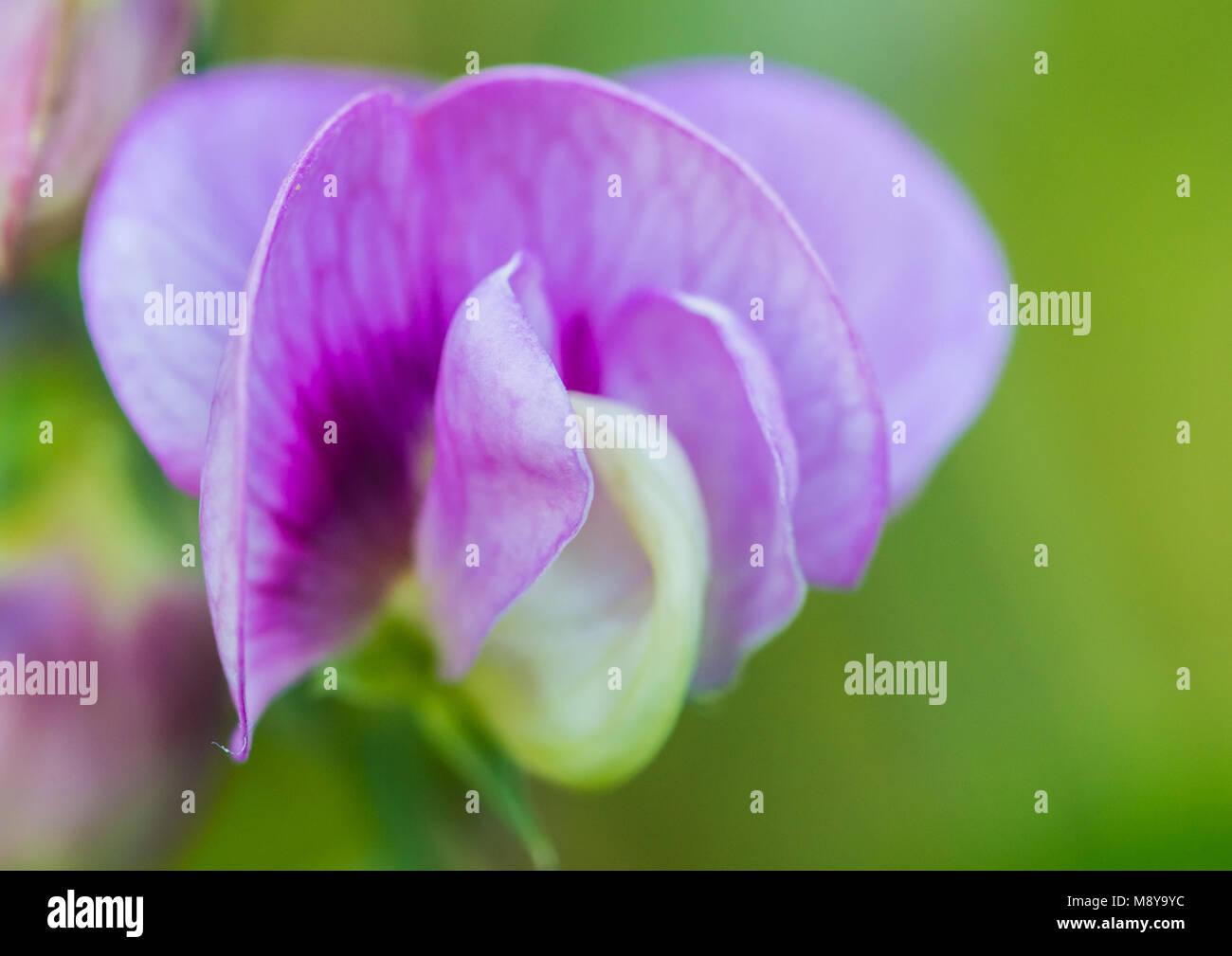 A macro shot of a pretty sweet pea bloom. - Stock Image
