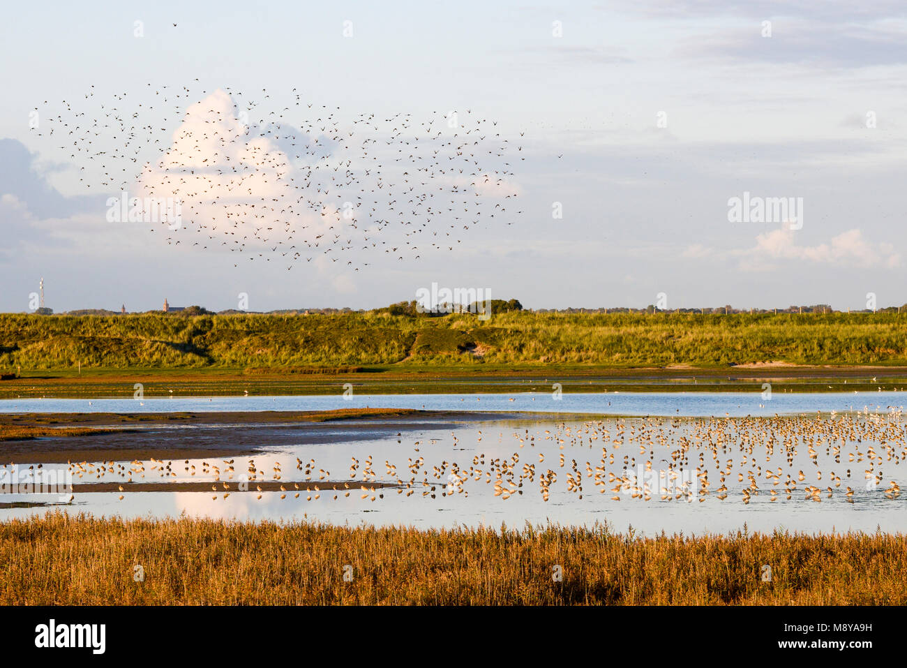 Migration birds Mokbaai Texel, Vogeltrek Mokbaai Texel - Stock Image