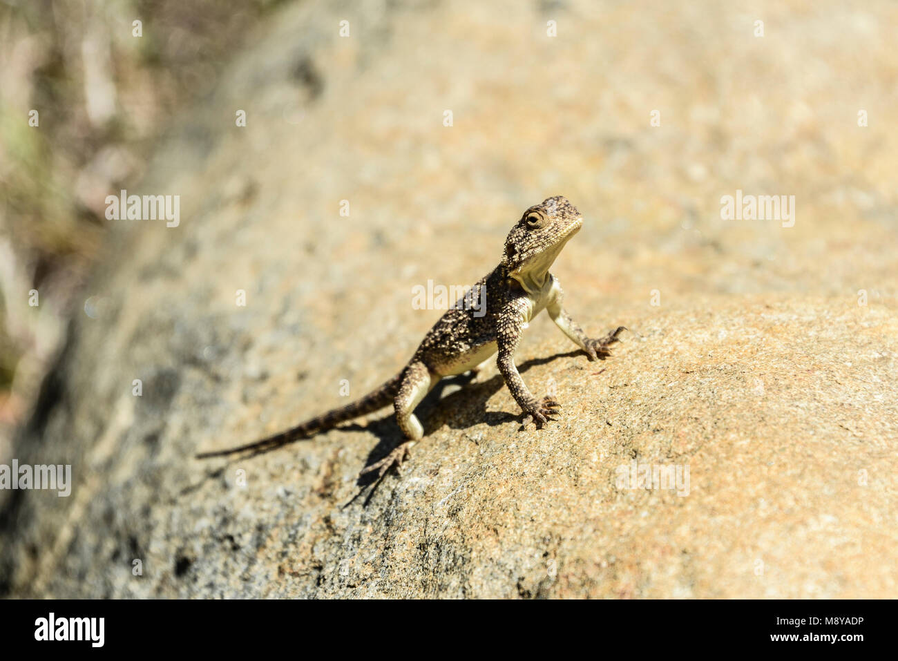 A southern rock agama (Agama atra) on a rock at the Valley Of Desolation, South Africa - Stock Image