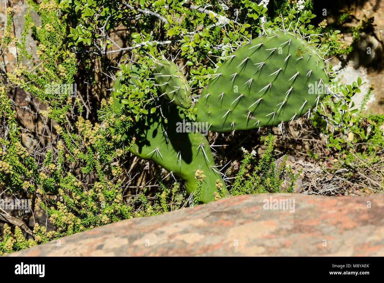 An optunia cactus growing at The Valley of Desolation, South Africa - Stock Image