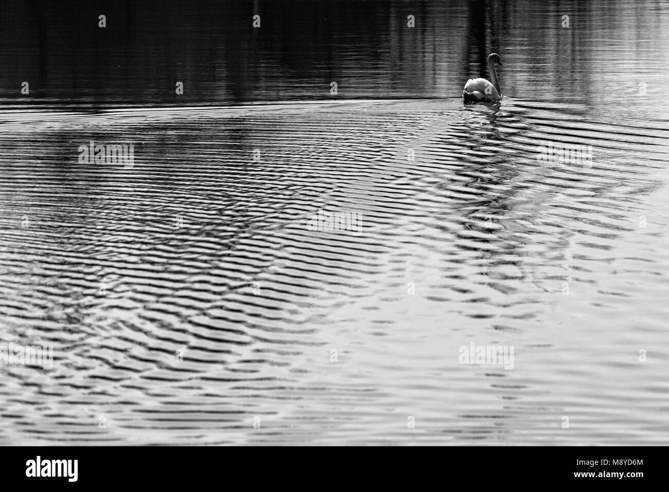 Black and white photo of a swan gracefully swimming along a lake in Romania Stock Photo