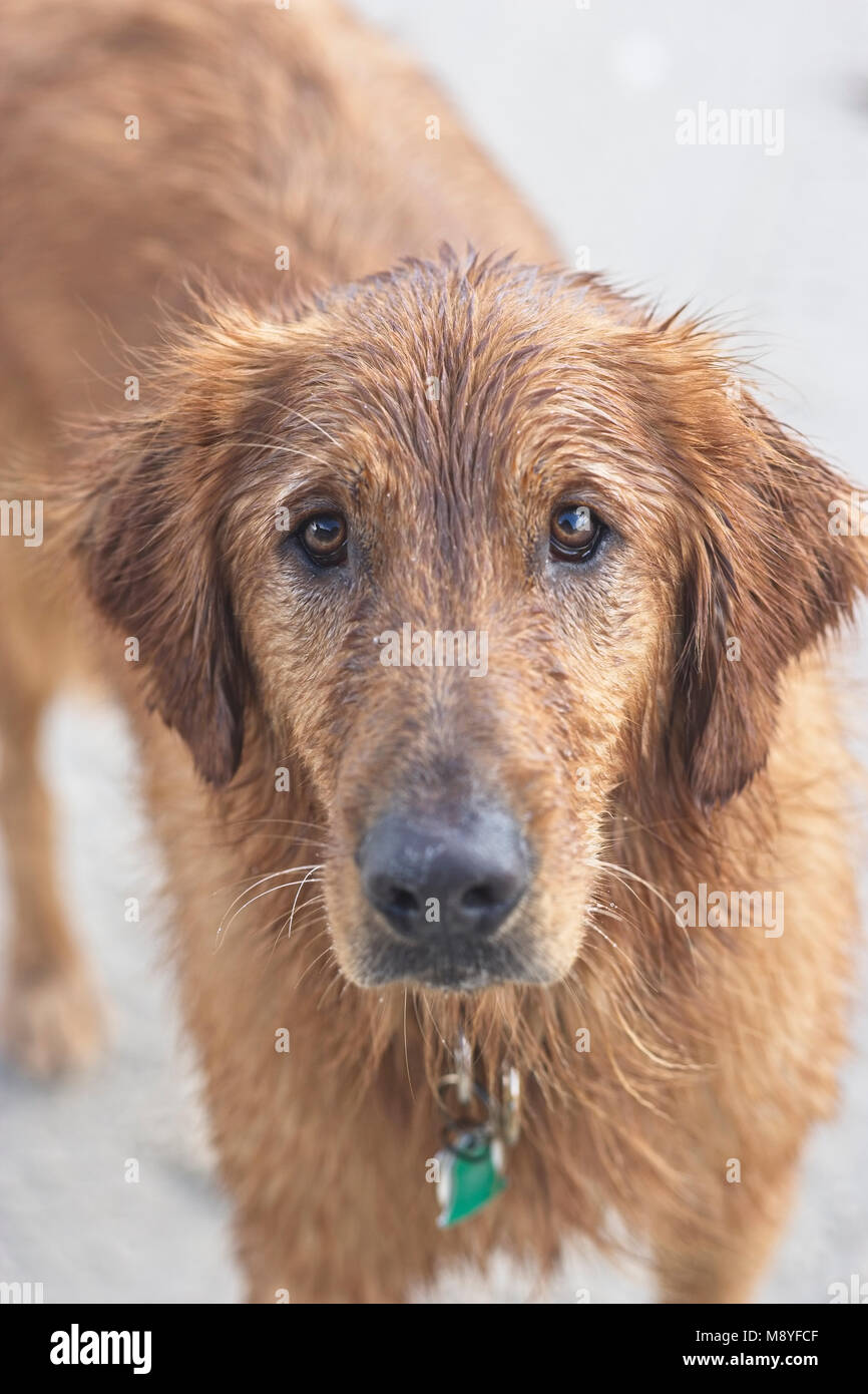 Golden retriever with baleful eyes, wet from swimming in the ocean - Stock Image