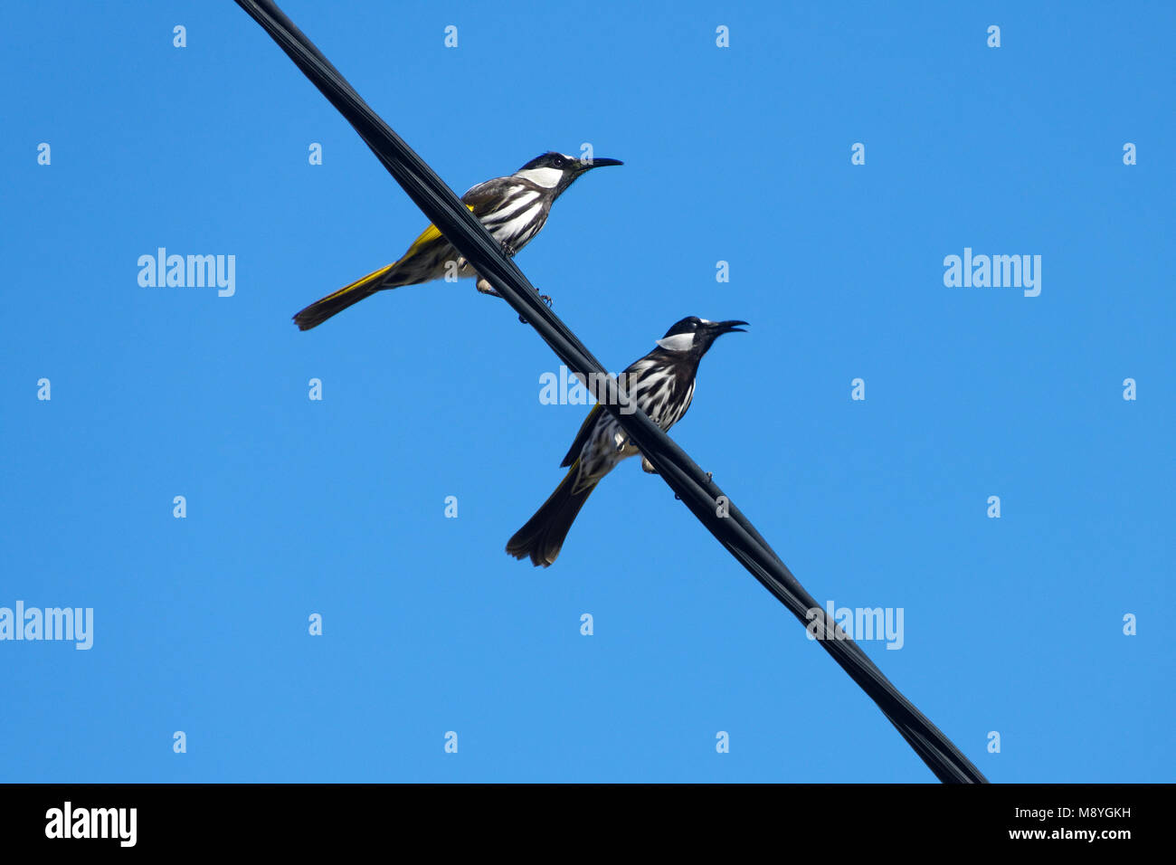 Male Yellow- plumed honey eaters ( Lichenostomus plumulus ) perched on power lines - Stock Image