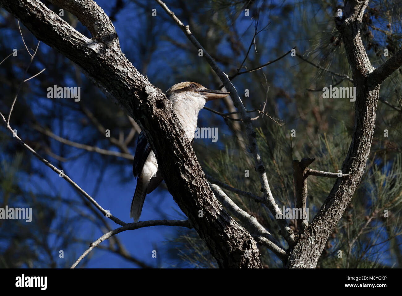 An Australian, Queensland Laughing Kookaburra, Dacelo novaeguineae resting on a Tree branch - Stock Image
