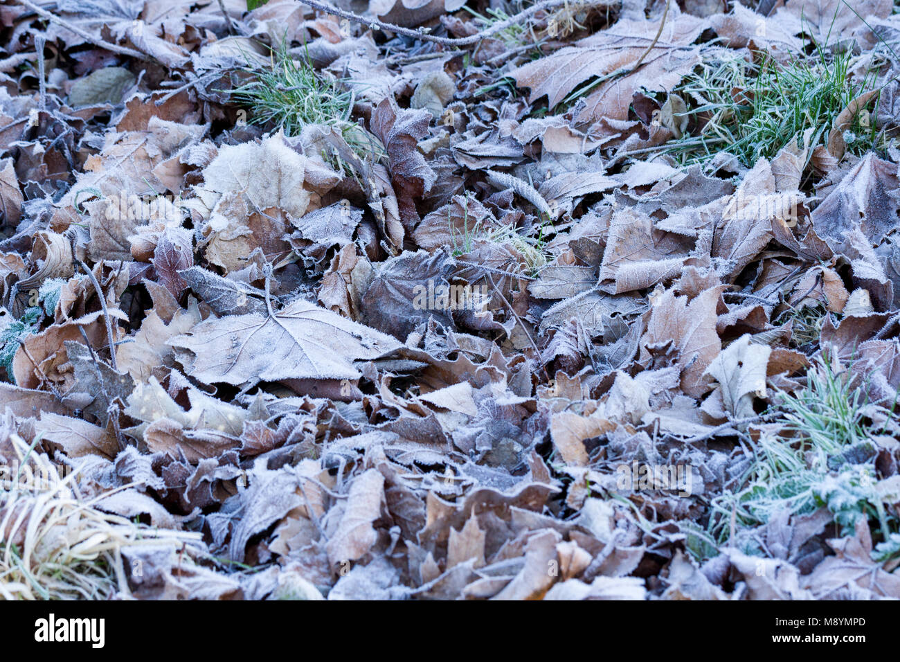Frost covered leaves, winter, Dorset, United Kingdom - Stock Image
