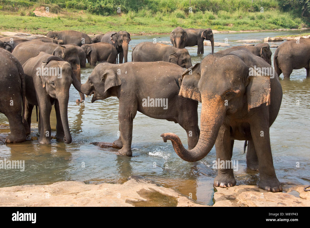 Sri Lankan elephants from the Pinnawala Elephant Orphanage bathing in the river nearby. - Stock Image