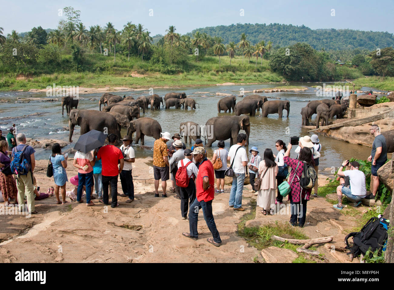 Sri Lankan elephants from the Pinnawala Elephant Orphanage bathing in the river with tourists watching and photographing - Stock Image