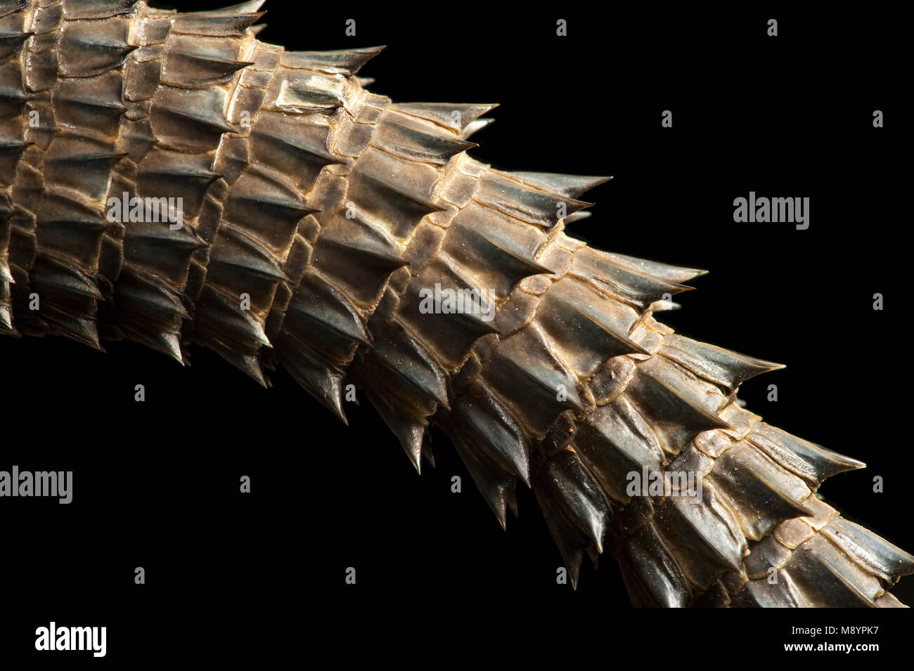 Tail spines of the lizard Madagascar Swift (Oplurus cyclurus), an endemic arboreal Malagasy iguana (Opluridae), - Stock Image