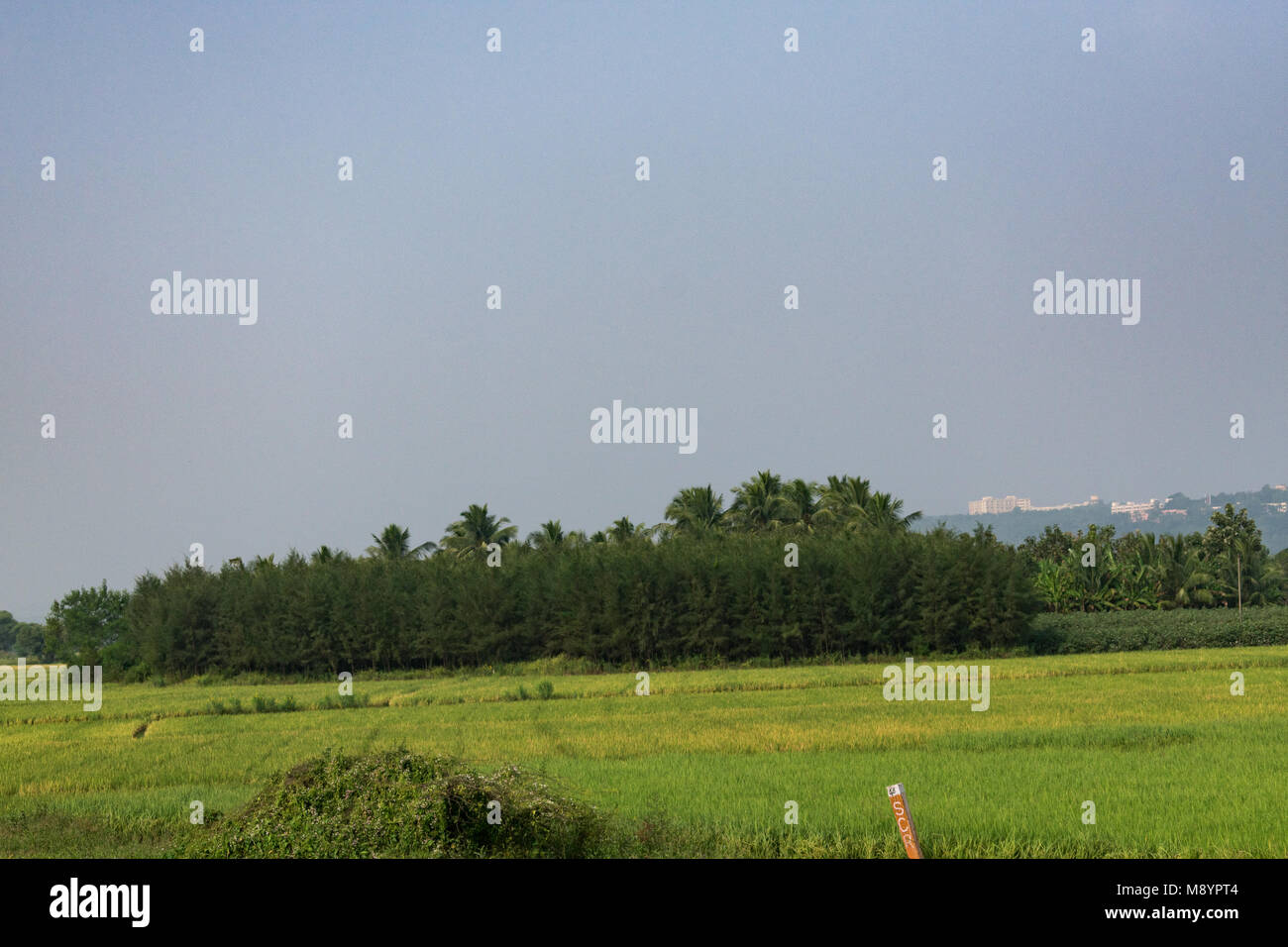 Paddy farm looking awesome with Casuarina trees. - Stock Image